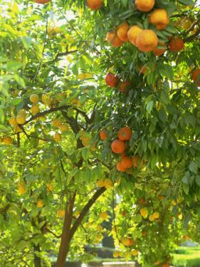 Orange and Lemon Trees in the Alcazar Gardens, Cordoba, Andalucia, Spain, Europe by Newton Michael