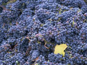 Sangiovese Grapes, Chianti, Tuscany, Italy, Europe by Newton Michael