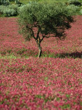 Wild Clover Flowers in an Olive Grove at Misilmeri, on the Island of Sicily, Italy, Europe by Newton Michael