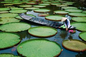 Lotus Leaves At Dong Thap by Nhiem Hoang The