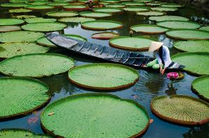 Lotus Leaves At Dong Thap by Nhiem Hoang The