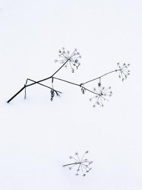 Angelica Stems, in Snow, Norway by Niall Benvie