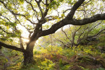 Atlantic Oak Wood (Quercus Petraea), Achduart, Coigach and Assynt, Sutherland, Scotland, UK, June