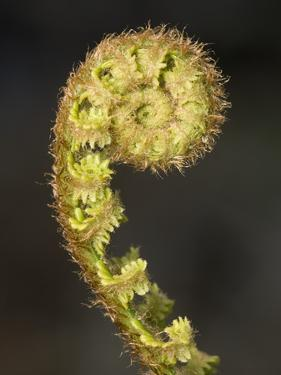 Close-up of Fern Fiddlehead by Niall Benvie
