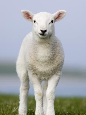 Close-up of Lamb in Meadow by Niall Benvie