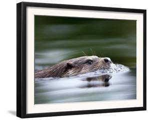 European River Otter Swimming, Otterpark Aqualutra, Leeuwarden, Netherlands by Niall Benvie
