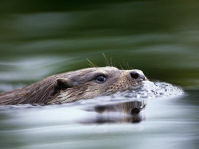 European River Otter Swimming, Otterpark Aqualutra, Leeuwarden, Netherlands