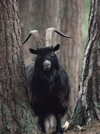 Feral Goat Male in Pinewood (Capra Hircus), Scotland