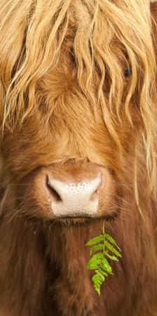 Head Portrait Of Highland Cow, Scotland, With Tiny Frond Of Bracken At Corner Of Mouth, UK