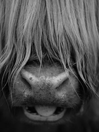 Highland Cattle, Head Close-Up, Scotland