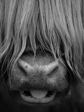 Highland Cattle, Head Close-Up, Scotland by Niall Benvie