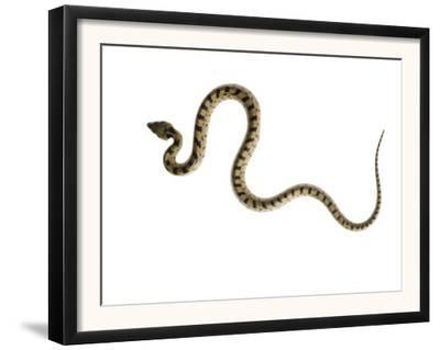 Juvenile Ladder Snake Alicante, Spain
