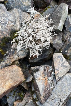 Lichen on Rocks, Assynt Uplands, Scotland, UK, January