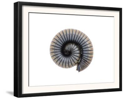 Millipede Rolled Up for Defense, Alicante, Spain