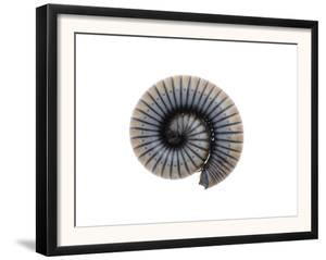 Millipede Rolled Up for Defense, Alicante, Spain by Niall Benvie
