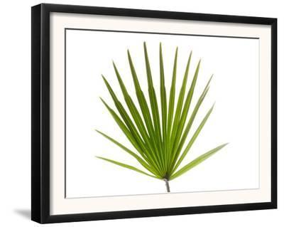 Palmito Dwarf Fan Palm Spain