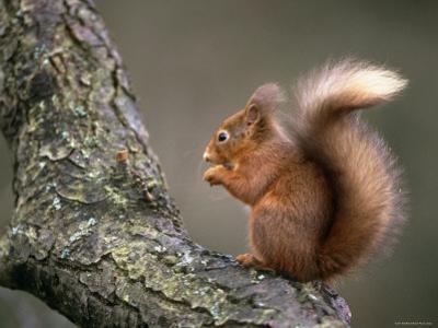 Red Squirrel, Angus, Scotland, UK