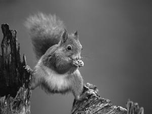 Red Squirrel Balancing on Pine Stump, Norway by Niall Benvie