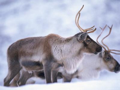 Reindeer from Domesticated Herd, Scotland, UK