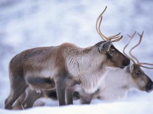 Reindeer from Domesticated Herd, Scotland, UK by Niall Benvie