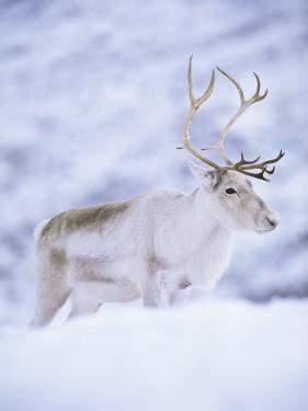 Reindeer Stag in Winter Snow (Rangifer Tarandus) from Domesticated Herd, Scotland, UK by Niall Benvie