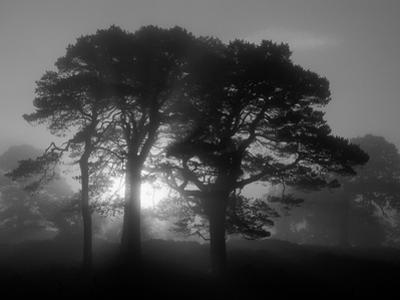 Scots Pine (Pinus Sylvestris) in Morning Mist, Glen Affric, Inverness-Shire, Scotland, UK, Europe