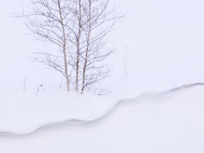 Silver Birch, in Winter Snow Cornice, Estonia