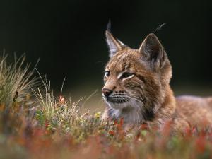 Young European Lynx Waking up Among Bilberry Plants, Sumava National Park, Bohemia, Czech Republic by Niall Benvie