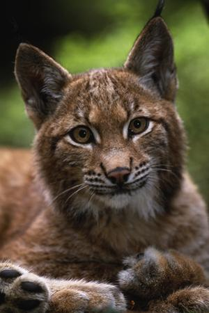 Young Male European Lynx (Lynx Lynx), Sumava Np, Bohemia, Czech Republic