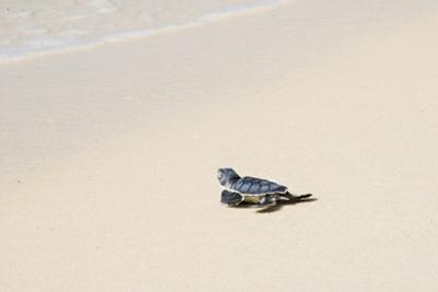 Reptile Baby Sea Turtle in Florida by Nic Stoltzfus