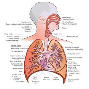 Respiratory System Anatomy by niceclip
