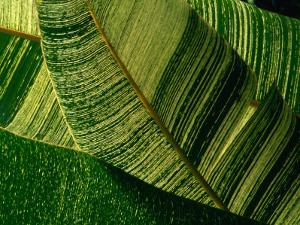 Banana Palm Frond Detail, USA by Nicholas Pavloff