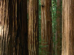 Coast Redwood Trees, Humboldt Redwoods State Park, USA by Nicholas Pavloff