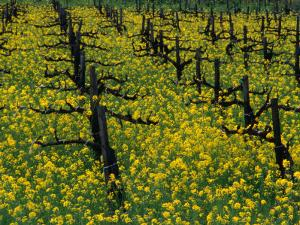 Detail of Pruned Vines and Mustard Blossoms, Napa Valley, USA by Nicholas Pavloff