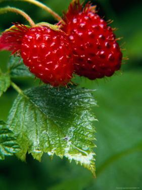 Detail of Salmon Berries, Olympic National Park, USA by Nicholas Pavloff