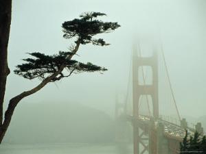 Golden Gate Bridge in Morning Fog with Cypress Tree by Nicholas Pavloff