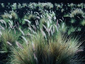Pili Grass Growing on Lava Flow in the Kona Region, Kailua-Kona, USA by Nicholas Pavloff