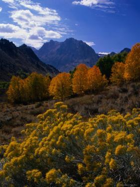 Rabbit Brush and Aspen Stands in Autumn, June Lake Loop, Eastern Sierra Nevada by Nicholas Pavloff