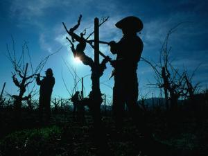Silhouette of People Pruning Vines, Dry Creek Valley, Sonoma, USA by Nicholas Pavloff