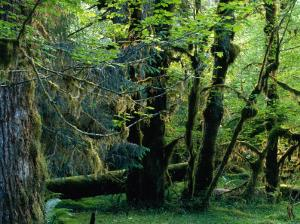 Trees in Hoh Rainforest, Olympic National Park, USA by Nicholas Pavloff
