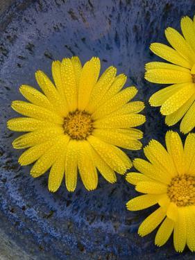 Pot Marigold (Calendula officinalis) close-up of flowers, against blue background of glazed bowl by Nicholas & Sherry Lu Aldridge