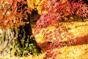 Autumn Japanese Garden with Maple by NicholasHan