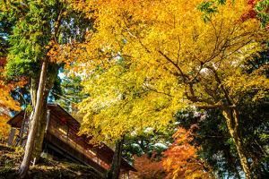 Colored Japanese Maple Leaf in Jingo-Ji by NicholasHan