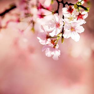 Spring Cherry Blossoms by NicholasHan