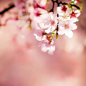 Spring Cherry Blossoms by NicholasHan