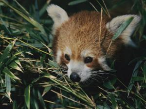 A Close View of a Red Panda at the Perth Zoo by Nick Caloyianis
