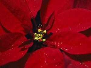 A Close View of Dew Drops on a Poinsettia Plant by Nick Caloyianis