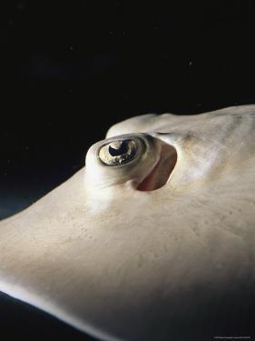 A Close View of the Eye of a Juvenile Southern Stingray by Nick Caloyianis