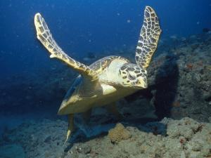 A Hawksbill Turtle Swims Just Above the Seafloor with Flippers Spread by Nick Caloyianis