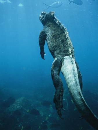 A Marine Iguana Swims Underwater by Nick Caloyianis